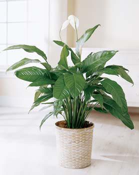 Adana çiçek siparişi online çiçek gönderme sipariş  spatilyum ithal büyük boy