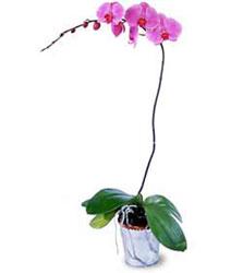 Adana çiçek siparişi cicekciler , cicek siparisi  Orkide ithal kaliteli orkide