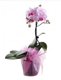 1 dal pembe orkide saksı çiçeği  Adana çiçek siparişi kaliteli taze ve ucuz çiçekler