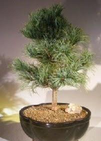Çam ağacı bonsai bitkisi satışı  Adana çiçek gönder ucuz çiçek gönder
