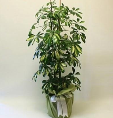 Şeflera salon bitkisi  Adana çiçek yolla çiçek gönderme