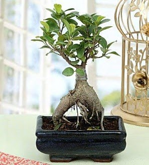 Appealing Ficus Ginseng Bonsai  Adana çiçek siparişi anneler günü çiçek yolla