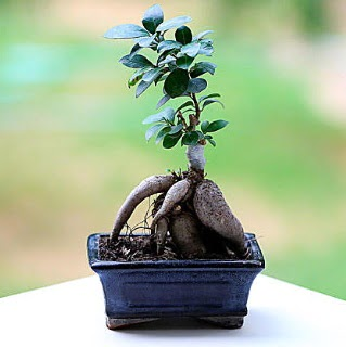 Marvellous Ficus Microcarpa ginseng bonsai  Adana çiçek siparişi çiçek siparişi vermek
