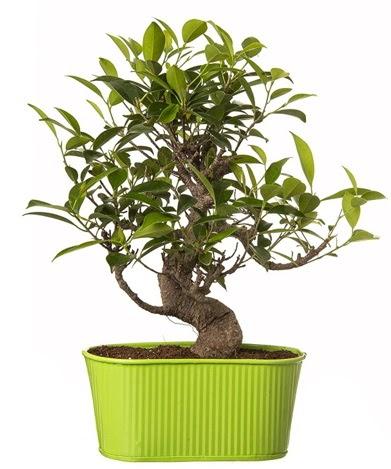 Ficus S gövdeli muhteşem bonsai  Adana çiçek gönder çiçek siparişi sitesi