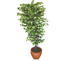 Ficus özel Starlight 1,75 cm   Adana çiçek siparişi cicek , cicekci