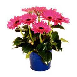 vazo içerisinde gerbera çiçekleri   Adana çiçek siparişi online çiçek gönderme sipariş
