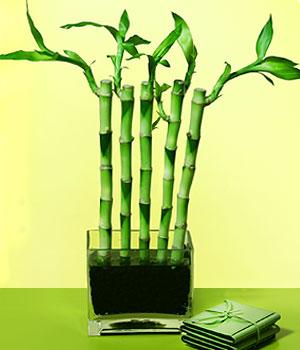 Adana çiçek siparişi anneler günü çiçek yolla  Good Harmony Lucky Bamboo camda