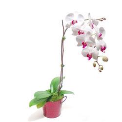 Adana çiçek yolla çiçek gönderme  Saksida orkide