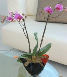 Adana çiçek gönder çiçekçi mağazası  tek dal ikili orkide saksi çiçegi