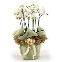 Adana çiçek gönder çiçek siparişi sitesi  3 dal orkide , saksi çiçegi , 3 kök orkide