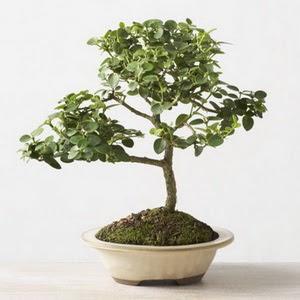 ithal bonsai saksi çiçegi  Adana çiçek siparişi çiçek online çiçek siparişi