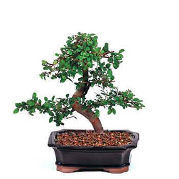 ithal bonsai saksi çiçegi  Adana çiçek siparişi çiçek siparişi vermek
