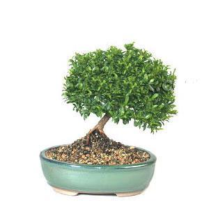 ithal bonsai saksi çiçegi  Adana çiçek siparişi cicekciler , cicek siparisi