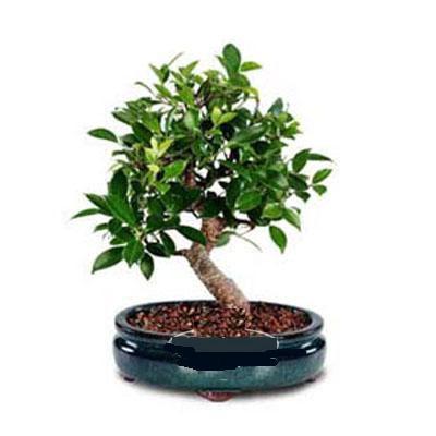 ithal bonsai saksi çiçegi  Adana çiçek gönder çiçek siparişi sitesi