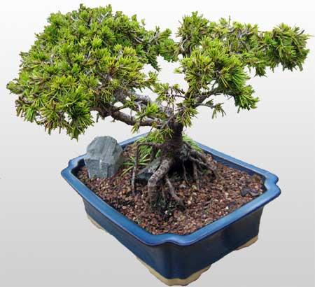 ithal bonsai saksi çiçegi  Adana çiçek gönder çiçekçi mağazası