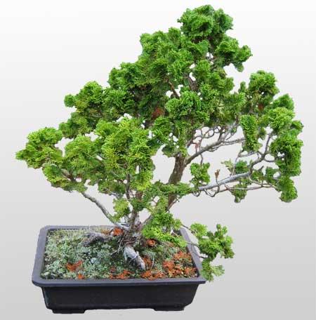 ithal bonsai saksi çiçegi  Adana çiçek yolla İnternetten çiçek siparişi