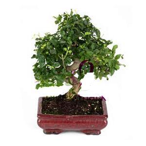 ithal bonsai saksi çiçegi  Adana çiçek siparişi anneler günü çiçek yolla