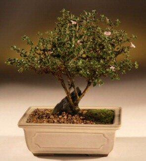ithal bonsai saksi çiçegi  Adana çiçek siparişi çiçek mağazası , çiçekçi adresleri