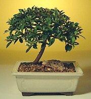 Adana çiçek gönder ucuz çiçek gönder  ithal bonsai saksi çiçegi  Adana çiçek siparişi cicek , cicekci