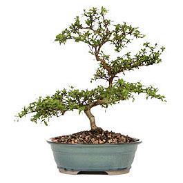 Adana çiçek yolla İnternetten çiçek siparişi  ithal bonsai saksi çiçegi  Adana çiçek yolla çiçek gönderme sitemiz güvenlidir