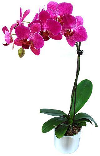 Adana çiçek gönder çiçekçi mağazası  saksi orkide çiçegi
