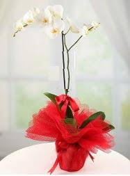 1 dal beyaz orkide saksı çiçeği  Adana çiçek siparişi yurtiçi ve yurtdışı çiçek siparişi