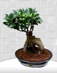 saksı çiçeği japon ağacı bonsai  Adana çiçek siparişi kaliteli taze ve ucuz çiçekler
