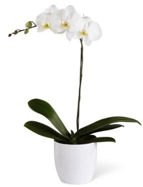 1 dallı beyaz orkide  Adana çiçek siparişi 14 şubat sevgililer günü çiçek