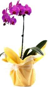 Adana çiçek gönder çiçek siparişi sitesi  Tek dal mor orkide saksı çiçeği