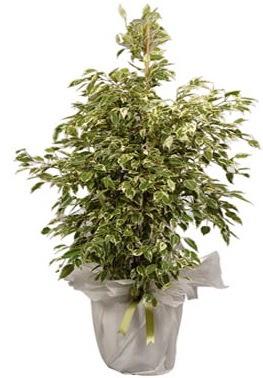 Orta boy alaca benjamin bitkisi  Adana çiçek gönder internetten çiçek satışı