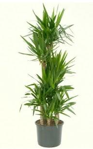 7 li yucca saksı bitkisi  Adana çiçek siparişi çiçek servisi , çiçekçi adresleri