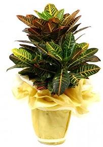 Orta boy kraton saksı çiçeği  Adana çiçek siparişi 14 şubat sevgililer günü çiçek