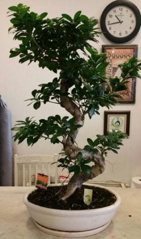 100 cm yüksekliğinde dev bonsai japon ağacı  Adana çiçek yolla İnternetten çiçek siparişi