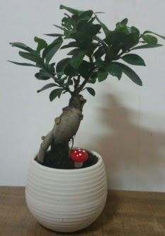 Bonsai japon ağacı saksı çiçeği  Adana çiçek yolla çiçek gönderme sitemiz güvenlidir