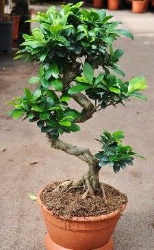 Orta boy bonsai saksı bitkisi  Adana çiçek siparişi internetten çiçek siparişi