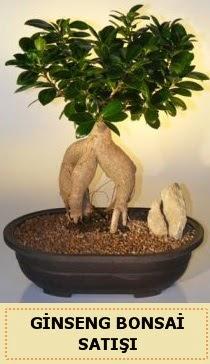 İthal Ginseng bonsai satışı japon ağacı  Adana çiçek gönder çiçek siparişi sitesi