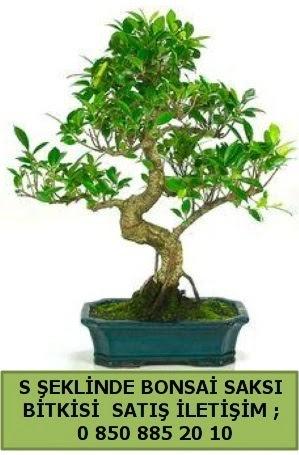 İthal S şeklinde dal eğriliği bonsai satışı  Adana çiçek yolla çiçek gönderme