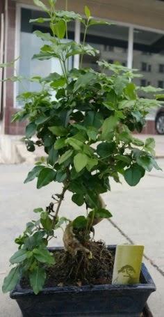 Bonsai japon ağacı saksı bitkisi  Adana çiçek siparişi çiçek siparişi vermek