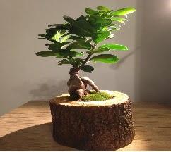 Doğal kütükte Bonsai japon ağacı satışı  Adana çiçek gönder internetten çiçek satışı