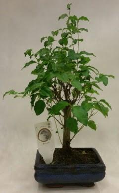 Minyatür bonsai japon ağacı satışı  Adana çiçek yolla çiçekçi telefonları