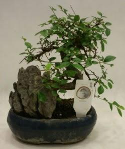 İthal 1.ci kalite bonsai japon ağacı  Adana çiçek yolla çiçek satışı