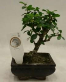 Küçük minyatür bonsai japon ağacı  Adana çiçek yolla çiçek gönderme