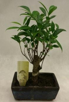 Japon ağacı bonsai bitkisi satışı  Adana çiçek yolla çiçekçi telefonları