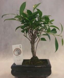 Bonsai japon ağacı bitkisi satışı  Adana çiçek yolla çiçek gönderme sitemiz güvenlidir