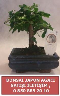Japon ağacı minyaür bonsai satışı  Adana çiçek yolla çiçek satışı