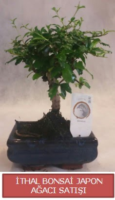 İthal küçük boy minyatür bonsai ağaç bitkisi  Adana çiçek yolla çiçekçi telefonları