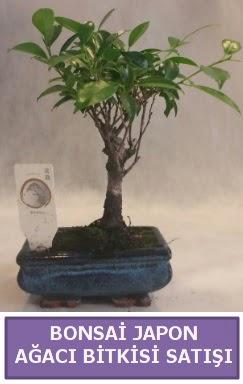 İthal Bonsai japon ağacı bitkisi satışı  Adana çiçek yolla İnternetten çiçek siparişi