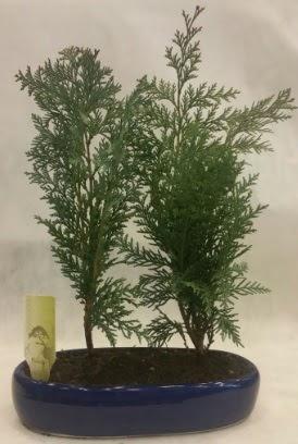 SINIRLI SAYIDA Selvi Ağacı bonsai ikili  Adana çiçek yolla çiçekçi telefonları