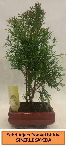Selvi ağacı bonsai japon ağacı bitkisi  Adana çiçek yolla çiçek satışı
