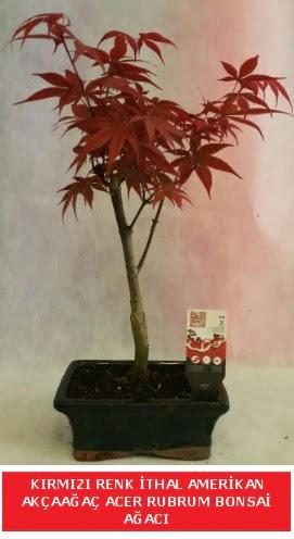 İTHAL ACER RUBRUM BONSAİ AĞACI  Adana çiçek yolla çiçek gönderme sitemiz güvenlidir